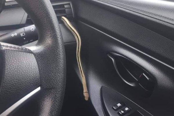 Snake in a car!